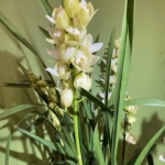 Orchidea Cymbidium color bianco
