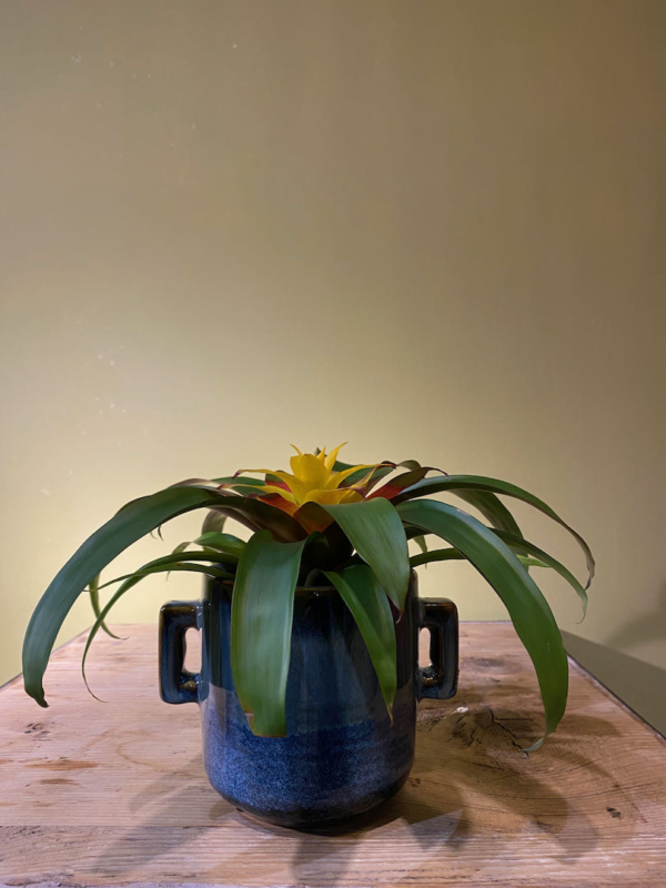 vaso-vasetto-tazza-blu-ceramica-pianta-bromelia